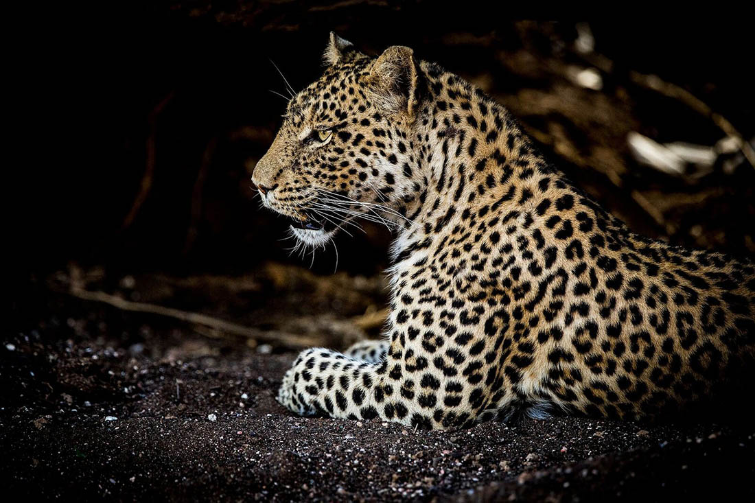 Juliana Bicycles - A Leopard Lounging in Africa